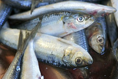 Sardines exposed in fish market Royalty Free Stock Images