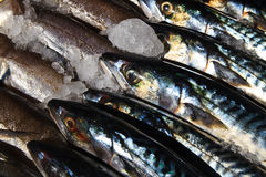 Sardines / Fish at local market. Close up of sardines on market stand Stock Images