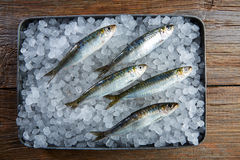 Sardines fresh fishes on ice Stock Photography