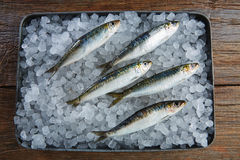 Sardines fresh fishes on ice Royalty Free Stock Image