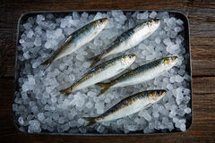 Sardines fresh fishes on ice Stock Images