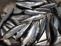 Sardines freshly caught and ready to eat Royalty Free Stock Photography