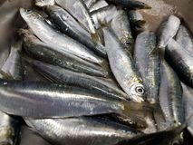 Sardines freshly caught and ready to eat Royalty Free Stock Photo