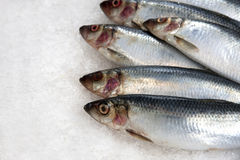 Sardines on ice. Fresh sardines on ice at a French fish market. Space for your text Stock Photography