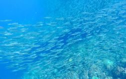 Sardines school carousel in blue ocean water. Massive fish school undersea photo. Silver fish swimming in seawater. Mackerel shoal for commercial fishing royalty free stock photos