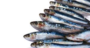 Sardines on white Stock Photography