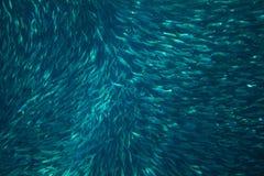 Sardinfiskkoloni i havvatten Undersea foto för massiv fiskskola arkivfoton