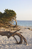 Sardinia. Tree on San Giovanni beach, Alghero, Sardinia, Italy royalty free stock photography