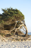 Sardinia. Tree on San Giovanni beach, Alghero, Sardinia, Italy royalty free stock photos