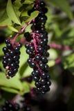 Sardinia.Blackcurrants Στοκ Εικόνες