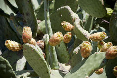 Sardinia. Cactus prickly Royalty Free Stock Image