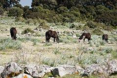 Sardinia. De Giara hästarna Arkivfoto