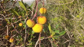 Sardinia frukt Arkivbild