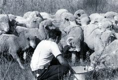 SARDINIA ITALIEN, 1970 - en Sardinian herde tar omsorg av fåren av hans flock som rusar arkivbilder