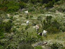 Sardinia landscape with goats Stock Photo