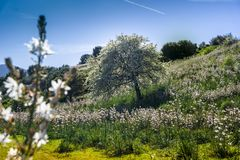 Sardinian поле Asphodel, San Teodoro, Сардиния, Италия стоковое фото