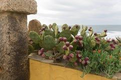 Sardinian cactus Stock Photo