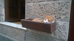Sardinian cat royalty free stock photo