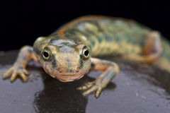 Sardinian mountain newt (Euproctus platycephalus) Royalty Free Stock Photography