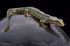 Sardinian mountain newt (Euproctus platycephalus) Royalty Free Stock Photos