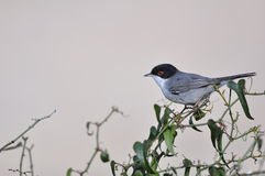 Sardinian Warbler Stock Photography