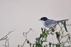 sardinian warbler Стоковая Фотография