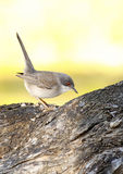 Sardinian warbler Royalty Free Stock Photography