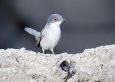 Sardinian warbler Royalty Free Stock Photography