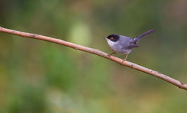 Sardinian Warbler on branch. A male Sardinian Warbler (Sylvia melanocephala) perches on a thin branch Royalty Free Stock Photo