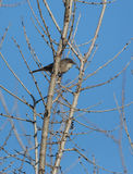Sardinian Warbler on branch. A male Sardinian Warbler (Sylvia melanocephala) perching on a leafless branch Royalty Free Stock Image