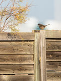 Sardinian Warbler on a fence Stock Photography
