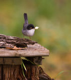 Sardinian Warbler with food. A mala Sardinian Warbler (Sylvia melanocephala) carries food in it's beak Stock Image