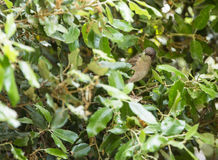 Sardinian Warbler in the forest Stock Photo