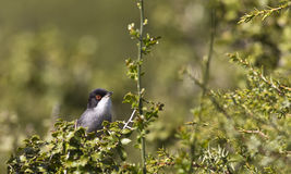 Sardinian Warbler among greens. A sardinian warbler is perching on a piece of bush royalty free stock photography
