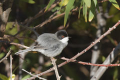 Sardinian Warbler. A male Sardinian Warbler (Sylvia melanocephala) amongst natural vegetation Stock Photography
