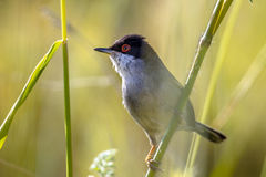 Sardinian warbler perched on grass stem and looking to side. Sardinian warbler (Sylvia melanocephala) perched on grass stem and looking to side Royalty Free Stock Images