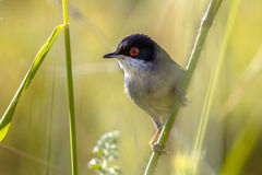 Sardinian warbler perched on stem of grass. Sardinian warbler (Sylvia melanocephala) perched on stem of grass Royalty Free Stock Image