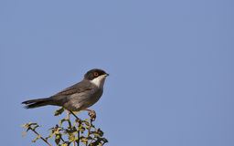 Sardinian Warbler. A sardinian warbler is perching on a piece of bush royalty free stock image