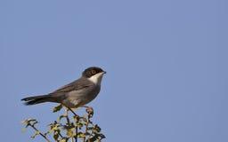 Sardinian Warbler. A sardinian warbler is perching on a piece of bush Royalty Free Stock Image