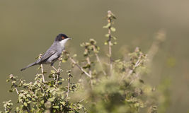 Sardinian Warbler. A sardinian warbler is perching on a piece of bush royalty free stock photo