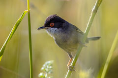 Sardinian warbler with red eye perched on grass stem. Sardinian warbler (Sylvia melanocephala) with red eye perched on grass stem Royalty Free Stock Images