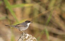 Sardinian Warbler on A Rock Royalty Free Stock Photography