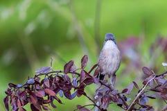 Sardinian Warbler on Shrubbery Stock Image
