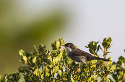 Sardinian Warbler on Shrubbery Royalty Free Stock Photography
