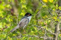 Sardinian Warbler - Sylvia melanocephala Royalty Free Stock Image