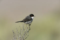 Sardinian warbler ,Sylvia melanocephala. Male in spring, Spain Royalty Free Stock Photos
