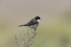 Sardinian warbler ,Sylvia melanocephala Royalty Free Stock Photos