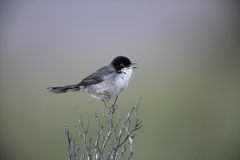 Sardinian warbler ,Sylvia melanocephala. Male in spring, Spain Royalty Free Stock Photo