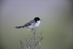 Sardinian warbler ,Sylvia melanocephala Royalty Free Stock Photo