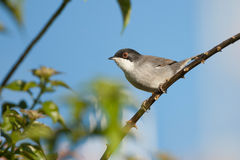 Sardinian warbler, Sylvia melanocephala, single male. On a branch in bush Stock Photos